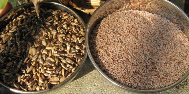 semillas-de-zaragatona