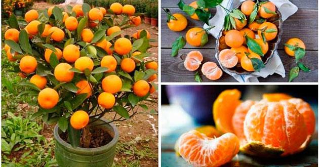 Cómo cultivar mandarinas en casa