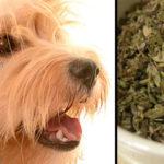 Cómo desparasitar perros con poleo menta
