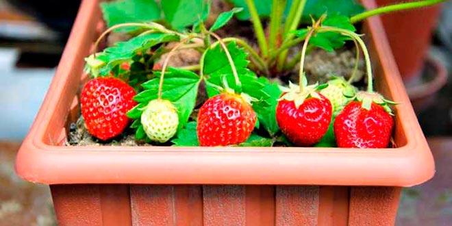 fresas-en-maceteros-2