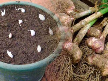 Cómo cultivar ajos
