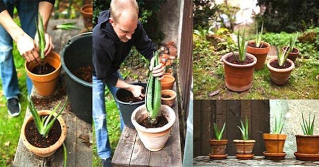 Cómo cultivar aloe vera en el hogar