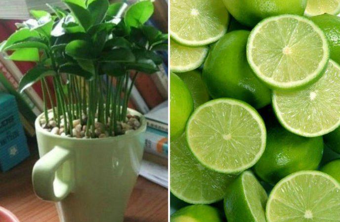Aprende a plantar limones en una taza para decorar y perfumar tu hogar